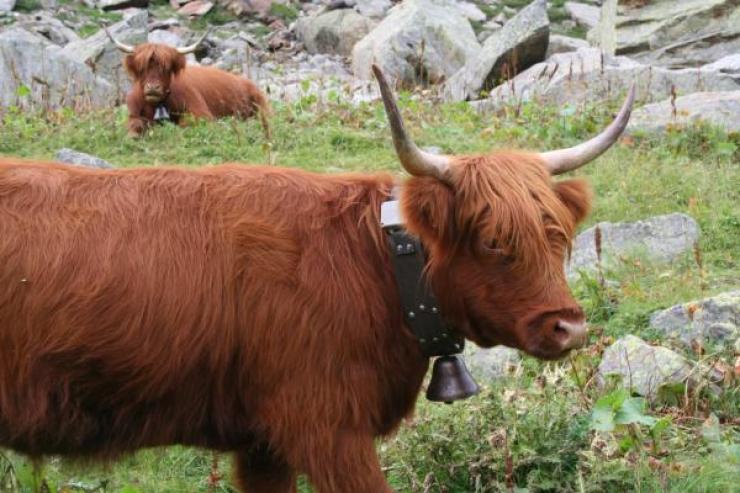 La mandria con il GPS: nuovi sistemi di monitoraggio degli animali al pascolo