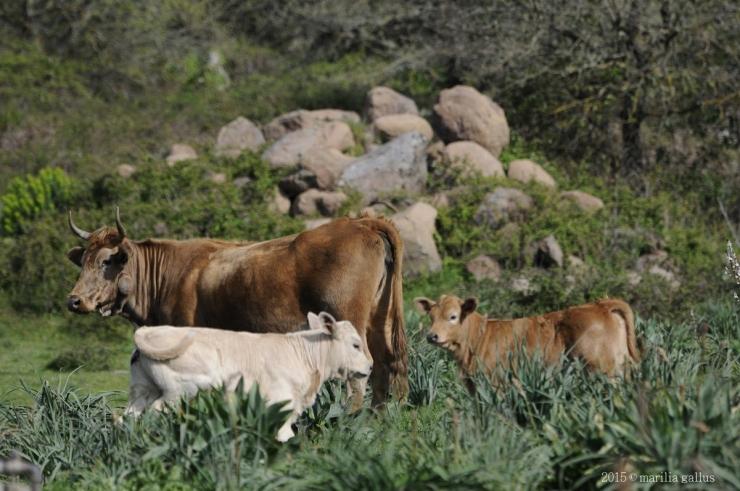Qualità della carne di bovini allevati al pascolo